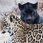 veerkracht-jaguars-2