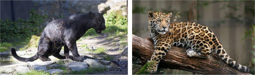 veerkracht-jaguars